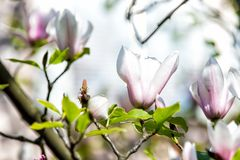 Youth, innocence, joy. Magnolia flower blossoming on sunny day. Magnolia bloom, blossom, flowering on tree. Spring season concept. Nature beauty, environment Royalty Free Stock Photography
