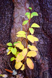 Youth and old age. Young branch with yellow leaves growing on the old tree Royalty Free Stock Photos