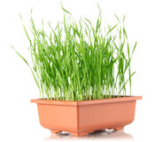 Youthful sucker wheat in brown pot Royalty Free Stock Photos