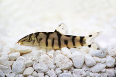 Yoyo loach Almora loach or Pakistani loach, Catfish Botia almorhae Stock Photo