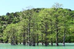 ? ypress Bäume, die vom Wasser am Strand auf einem Waldhintergrund in der Sommerzeit wachsen stockfotos