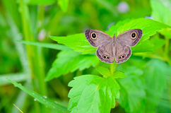 Ypthima baldus baldus, Common Five Ring. Ypthima baldus, Common Five Ring, Gray butterfly in Thailand Stock Photos
