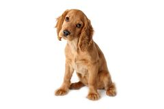 Ypung English cocker spaniel dog. And white background Stock Image