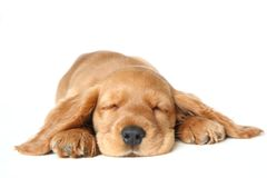 Ypung English cocker spaniel dog. English Cocker Spaniel puppy sleeping in front of a white background Stock Photography