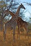 Żyraf żyraf Męska kobieta Afryka Savana Zdjęcia Royalty Free