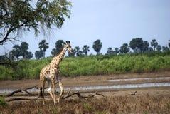 żyraf masaai park narodowy selous Tanzania Zdjęcia Stock