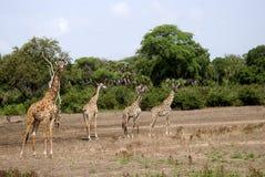 żyraf masaai park narodowy selous Tanzania Zdjęcia Royalty Free