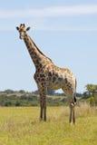 żyraf potomstwa Zdjęcie Stock