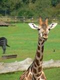 żyraf potomstwa Zdjęcie Royalty Free