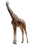 żyrafa Fotografia Stock