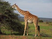 żyrafa Obrazy Royalty Free