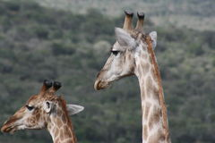 żyrafa Zdjęcia Royalty Free