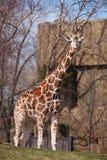 żyrafa Obraz Royalty Free