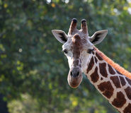 żyrafa Obraz Stock