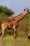 żyrafa Obrazy Stock