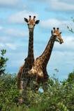 żyrafa afryce Obraz Royalty Free