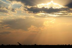 Żyrafa - Afrykański przyrody tło - nieba światła wędrowiec Fotografia Stock