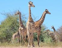 Żyrafa - Afrykańska przyroda - poza Trzy na spojrzeniu Zdjęcia Royalty Free
