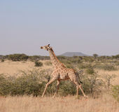 Żyrafa bieg Fotografia Stock