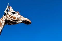Żyrafa - boczny profil Fotografia Stock