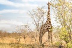Żyrafa comouflaging za drzewami przy safari parkiem fotografia royalty free