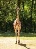 Żyrafa folujący ciało Fotografia Royalty Free