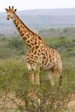 Żyrafa fotografująca przy Hluhluwe/Imfolozi gry rezerwą w Południowa Afryka Widzii peckers na swój szyi i głowie Obraz Stock