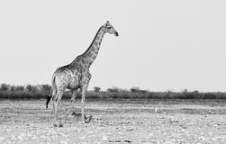 Żyrafa fotografująca w czarny i biały obrazy royalty free