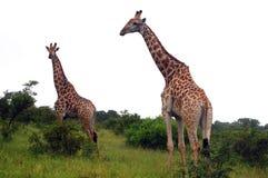 Żyrafa (Giraffa camelopardalis) Zdjęcia Royalty Free