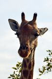 Żyrafa (Giraffa camelopardalis) Zdjęcia Stock