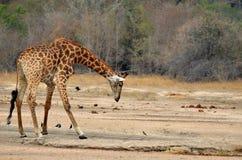 Żyrafa (Giraffa camelopardalis) Fotografia Royalty Free