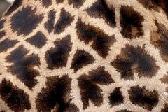 Żyrafa, Giraffa camelopardalis Obraz Royalty Free