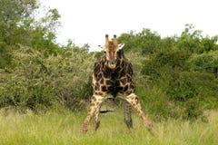 Żyrafa (Giraffa camelopardalis) Obraz Royalty Free
