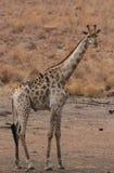 Żyrafa, Giraffa camelopardalis Fotografia Royalty Free