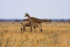 Żyrafa, Giraffa camelopardalis w Etosha parku narodowym, Namibia obrazy royalty free