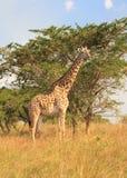 Żyrafa i drzewo Zdjęcia Stock