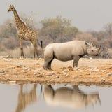 Żyrafa i nosorożec przy waterhole Obrazy Stock