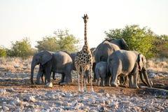 Żyrafa i słonie obrazy stock