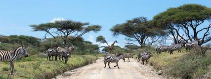Żyrafa i zebry Zdjęcie Royalty Free