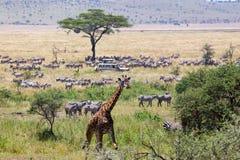 Żyrafa i zebry Obraz Royalty Free