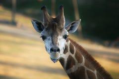 Żyrafa jęzor zdjęcie stock