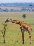 Żyrafa je akacjową sawannę Zakończenie Kenja Tanzania 5 2009 Africa tana wschodnich maasai marszu spełniania Tanzania wioski wojo Zdjęcia Stock