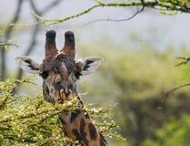 Żyrafa je akacjową sawannę Zakończenie Kenja Tanzania 5 2009 Africa tana wschodnich maasai marszu spełniania Tanzania wioski wojo Zdjęcie Royalty Free