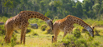 Żyrafa je akacjową sawannę Zakończenie Kenja Tanzania 5 2009 Africa tana wschodnich maasai marszu spełniania Tanzania wioski wojo Zdjęcie Stock