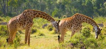 Żyrafa je akacjową sawannę Zakończenie Kenja Tanzania 5 2009 Africa tana wschodnich maasai marszu spełniania Tanzania wioski wojo Obrazy Royalty Free
