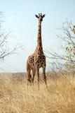 Żyrafa jeden dzień safari w Tanzania, Afryka - Zdjęcie Stock