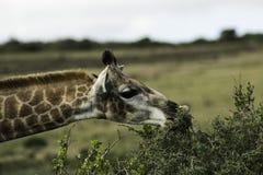 żyrafa jedzenia Obrazy Royalty Free