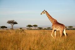 żyrafa Kenya Fotografia Royalty Free