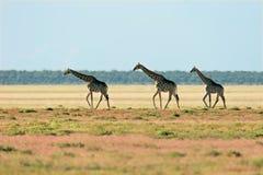 żyrafa krajobrazu Zdjęcie Royalty Free