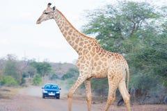Żyrafa krzyżuje drogę w Kruger parku narodowym, specjalizuje się podróży miejsce przeznaczenia w Południowa Afryka Safari samocho Obraz Royalty Free